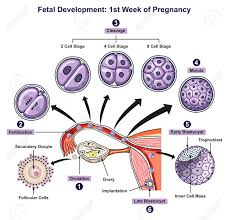 Prenatal Development Chart Fetal Development First Week Of Pregnancy Infographic Diagram