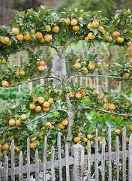 Espalier Fruit Trees Thatu0027s Natty  Espalier Fruit Trees Fruit When Do You Plant Fruit Trees