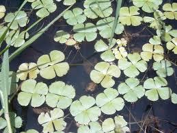 Marsileaceae | plant family | Britannica.com