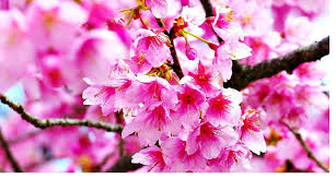 Bunga Sakura Adventure Blog News Tips Adventure Travel Adventure