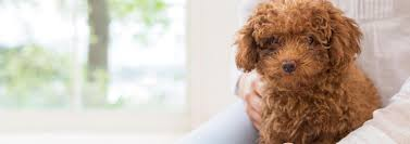 Toy Poodle Feeding Chart Facts Every Toy Poodle Owner Should Know Pedigree