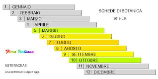 Leucanthemum vulgare [Margherita comune] - Flora Italiana