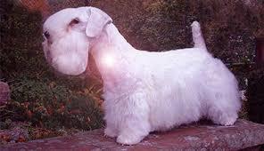sealyham terrier dog hunter