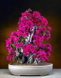 flowering bonsai trees bonsai tree