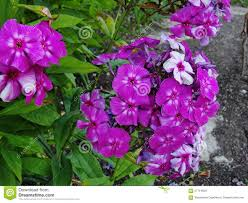 beautiful purple and white flowers. Contemporary Purple Download Beautiful Flowers In The Summer Garden Five Bright Purple With White  Phlox And S