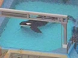 tilikum offspring chart. Wonderful Tilikum Diary Of A Killer Whale What Motivated Tilikumu0027s Attack On Dawn Brancheau   Tim Zimmermann With Tilikum Offspring Chart S