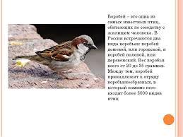Презентация по биологии на тему Птица воробей класс  Воробей это одна из самых известных птиц обитающих по соседству с жилищем