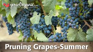 How To Prune Grapes Summer
