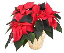 Christmas Plants For Gifts  Christmas Gift IdeasChristmas Gift Plants