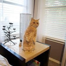 <b>Прелестный кот</b> Джордж любит стоять на двух лапах | Милые ...