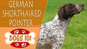 Dogs 101 – German Shorthaired Pointer ...