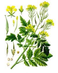 White mustard - Wikipedia