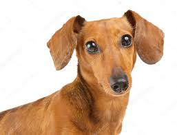 Brown dachshund dog isolated on white ...