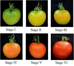 Ripening Stages Of Tomato Download Scientific Diagram