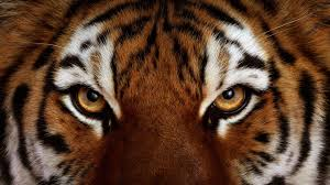 90+] Angry Tiger Eyes Wallpapers on ...