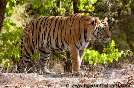 tiger conservation save the endangered tiger above