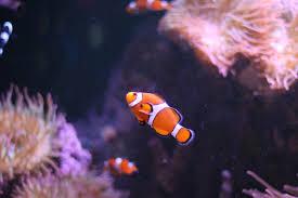 Ocellaris Clownfish Wikipedia