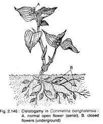 essay on the types of pollination flowers angiosperms botany cleistogamy in commelina benghalensis