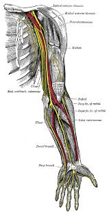 nerves of the left upper extremity gif