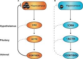 Hpa Axis Hypothalamic Pituitary Adrenal Hpa Axis Programm Open I