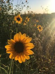Desktop Aesthetic Wallpapers Sunflower