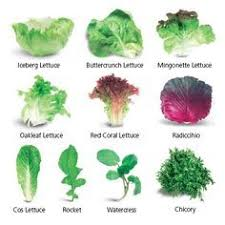 Lettuce Types Chart Types Of Lettuce With Pictures And Names Google Search In