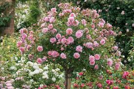 underplanting roses companion plants