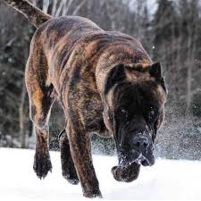 Presa Canario Weight Chart 8 Facts You Need To Know Before Buying A Presa Canario