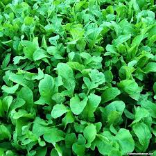 how to grow arugula organic arugula seeds growing arugula from seed in containers how to grow arugula