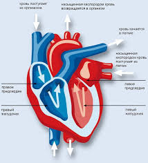 Сердце Кинезиолог Свою функцию как хорошо скоординированного насоса сердце может выполнять благодаря особому строению