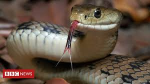 There are many kinds of snakes for sale in the world and many of them are beautiful and exotic. Indonesian Police Use Snake To Scare Papuan Man Bbc News