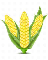 ear of corn clipart. Delighful Corn Corn Clipart Cob On The Vector Image Graphic Library And Ear Of Clipart
