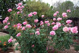 Most Fragrant Climbing Rose  Jude The Obscure  Most Fragrant Fragrant Rose Plants