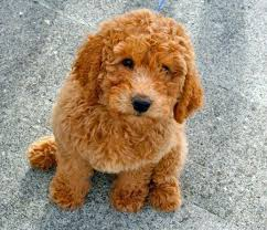 Small Picture 108 best Labradoodles images on Pinterest Goldendoodles