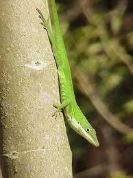 Species Profile Green Anole Anolis Carolinensis Srel Herpetology