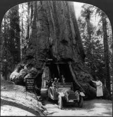 photo of the tree from june 1918 tree has a tunnel through center of