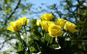yellow rose pictures yellow roses in nature