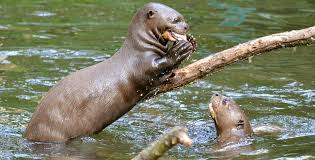 amazon river animals. Perfect Amazon Amazon_Giant_River_Otter_shutterstock_94554097 2 Giant River Otters Intended Amazon Animals T