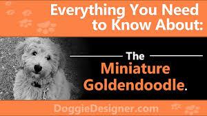 Golden Retriever Poodle Mix The Miniature Goldendoodle Guide