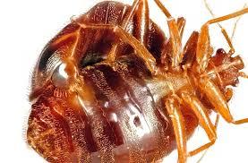 Types Of Bedbugs Bed Bug Types List Of Bedbug Species Nanovina