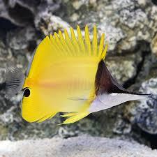 Saltwater Aquarium Fish For Marine Aquariums Yellow