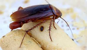 Cockroach Eggs How To Kill Roach Eggs In House Naturally Quickly