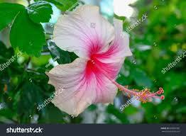 Light Pink Hibiscus Light Pink Hibiscus Flower Stock Photo Edit Now 692681995