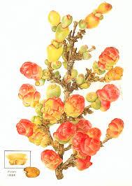 Flora of Australia, Volume 4, Phytolaccaceae to Chenopodiaceae