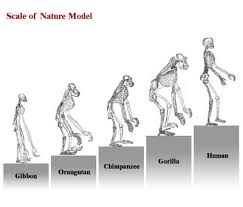 Darwin Evolution Of Man Chart Best Picture Of Chart