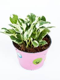 plants for office cubicle. pothos plants for office cubicle