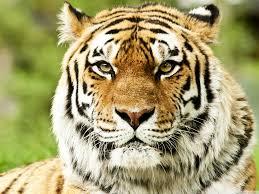 siberian tiger wallpaper desktop. Plain Desktop Standard  And Siberian Tiger Wallpaper Desktop S