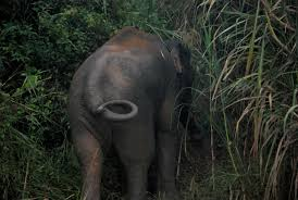 essay on the elephant the industrial revolution essay borneo pygmy elephant