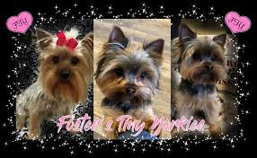 home foster s tiny yorkies