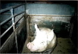 Заключение Приложения  Аппарат УЗИ для определения супоросности свиноматок